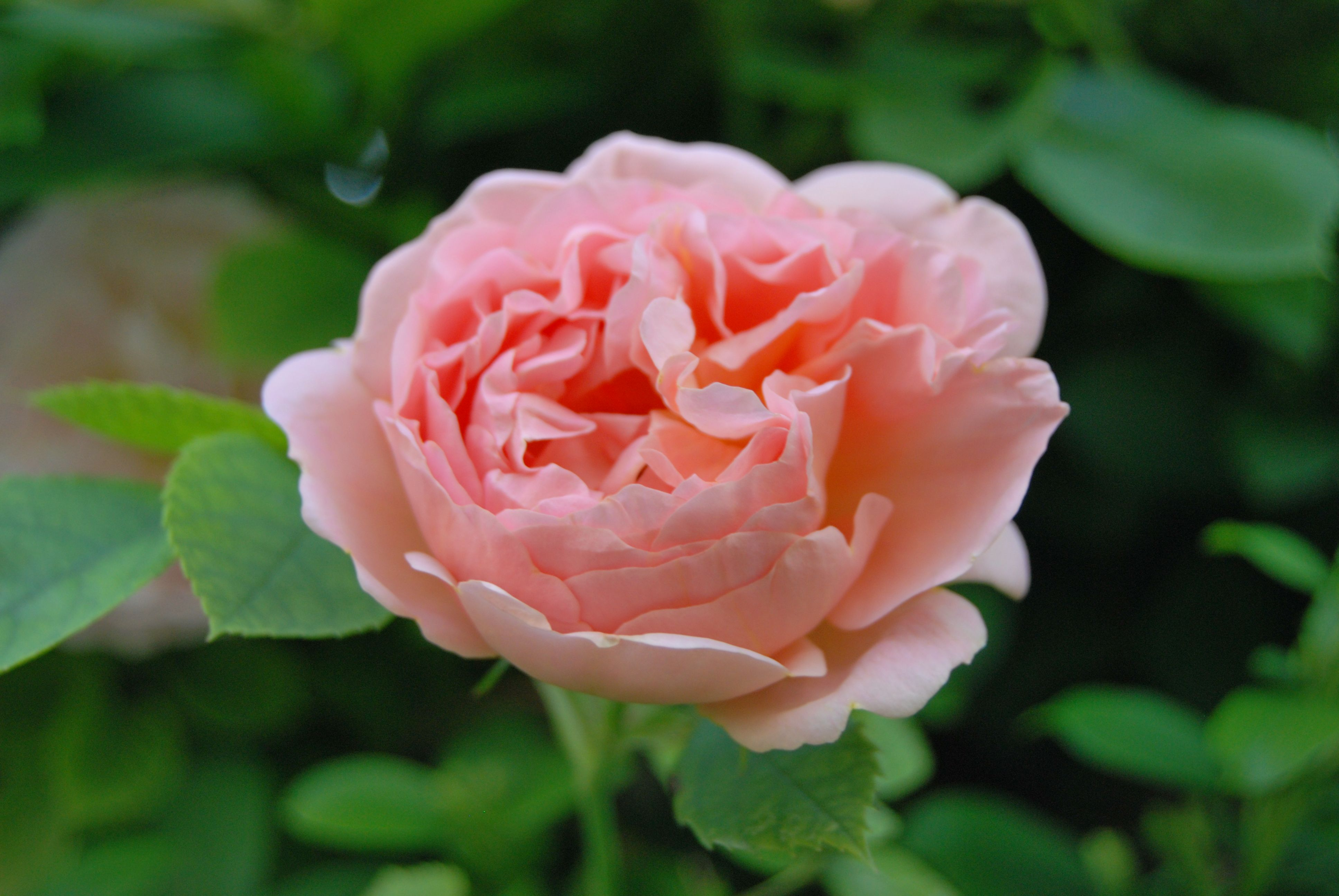 Pin by yattus love on the roses pinterest rose