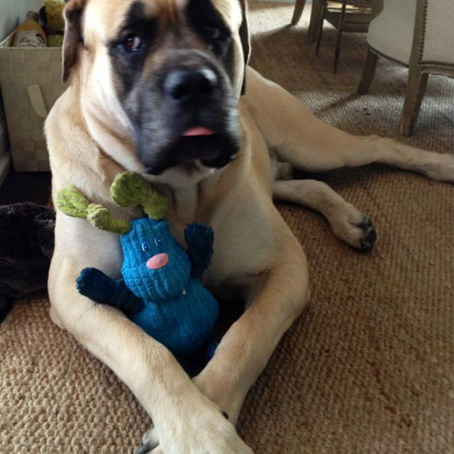 English Mastiff Oliver And His New Toy Mastiff Dog Canine