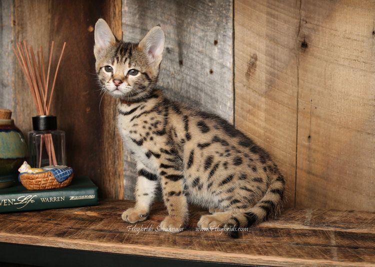 Bengal Cats For Sale Savannah Kitten Cat Breed Savannah