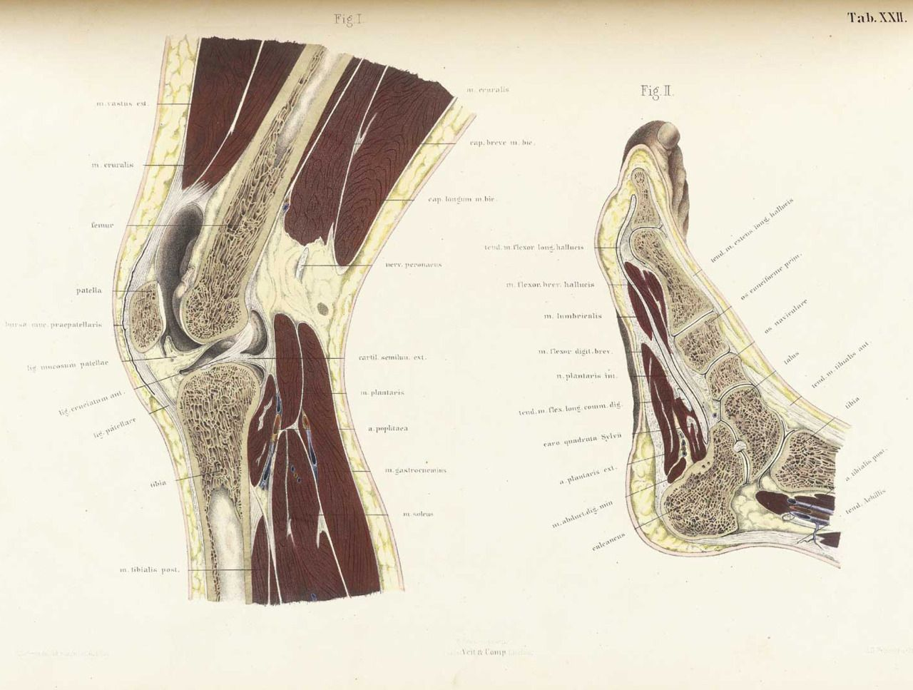 father-damien: Knee and Ankle Joints | anatomy | Pinterest | Ankle ...