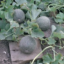 Garden Ideas · Melon Minnesota Midget  Planted April 2 2013. Vegetables ...