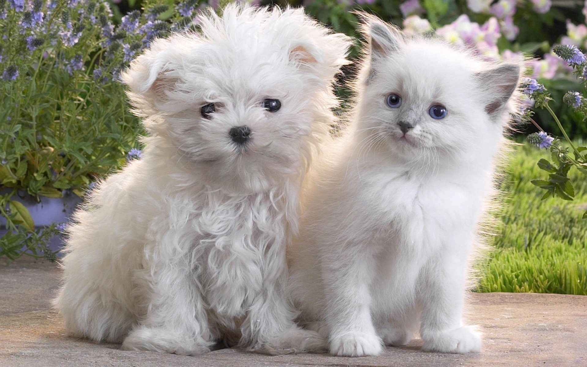 Pomeranian Price Range Cost How Much Are Pomeranian Puppies