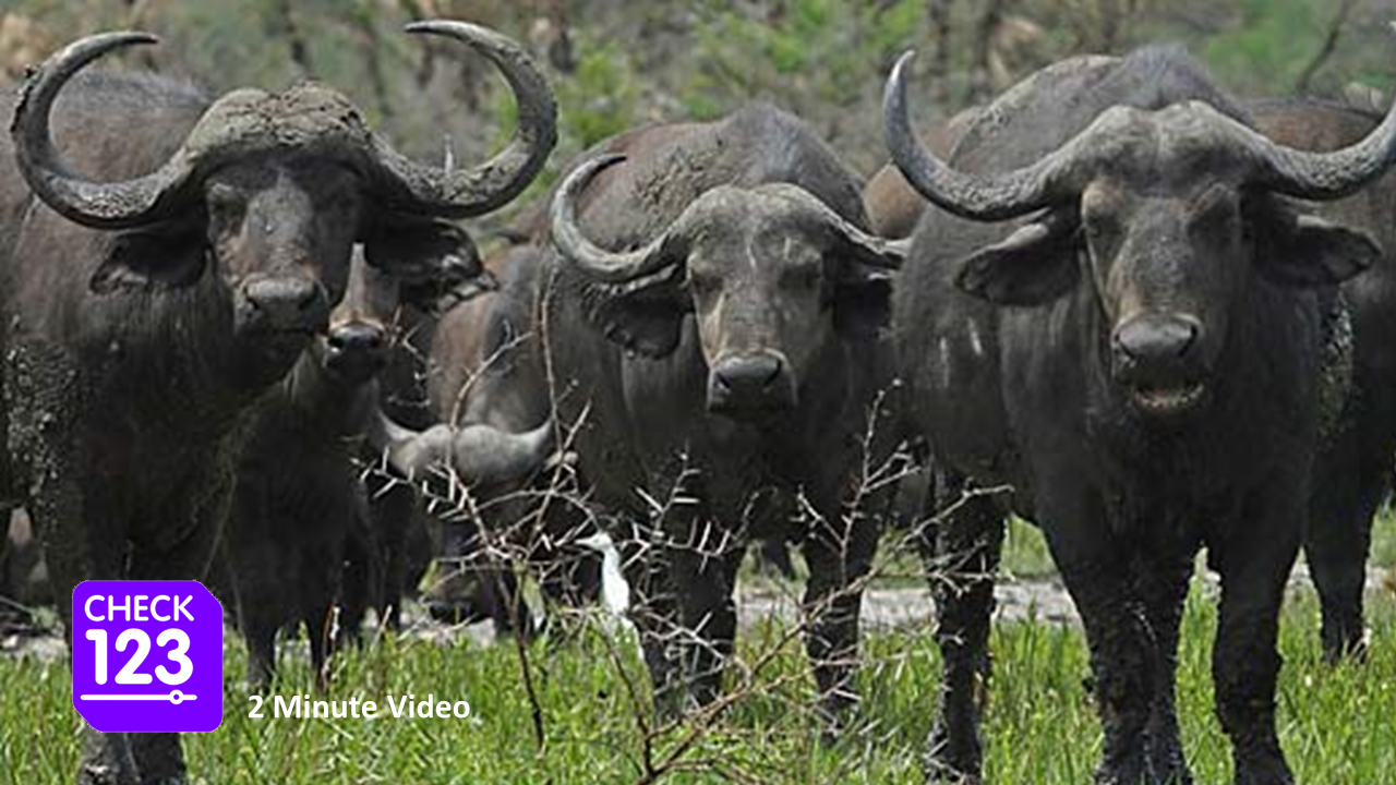 What makes a buffalo lose his temper? 2 minute video.