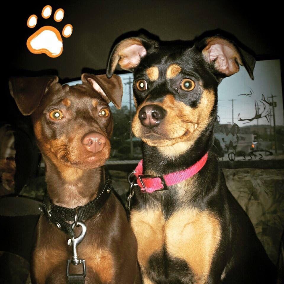Miniature Pinschers Dog Love Min Pin