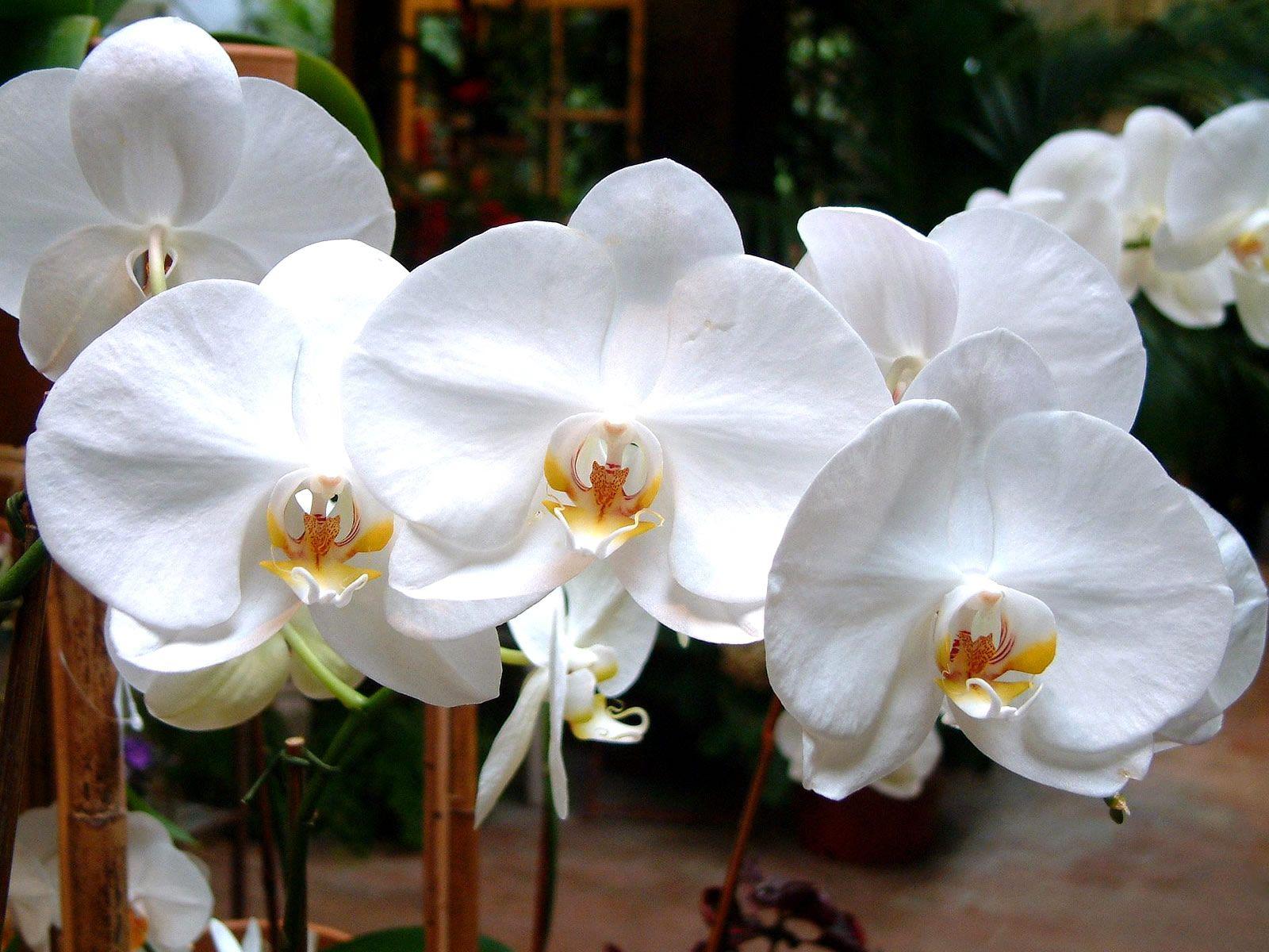 Jasmine flower wallpaper nature pinterest flower wallpaper