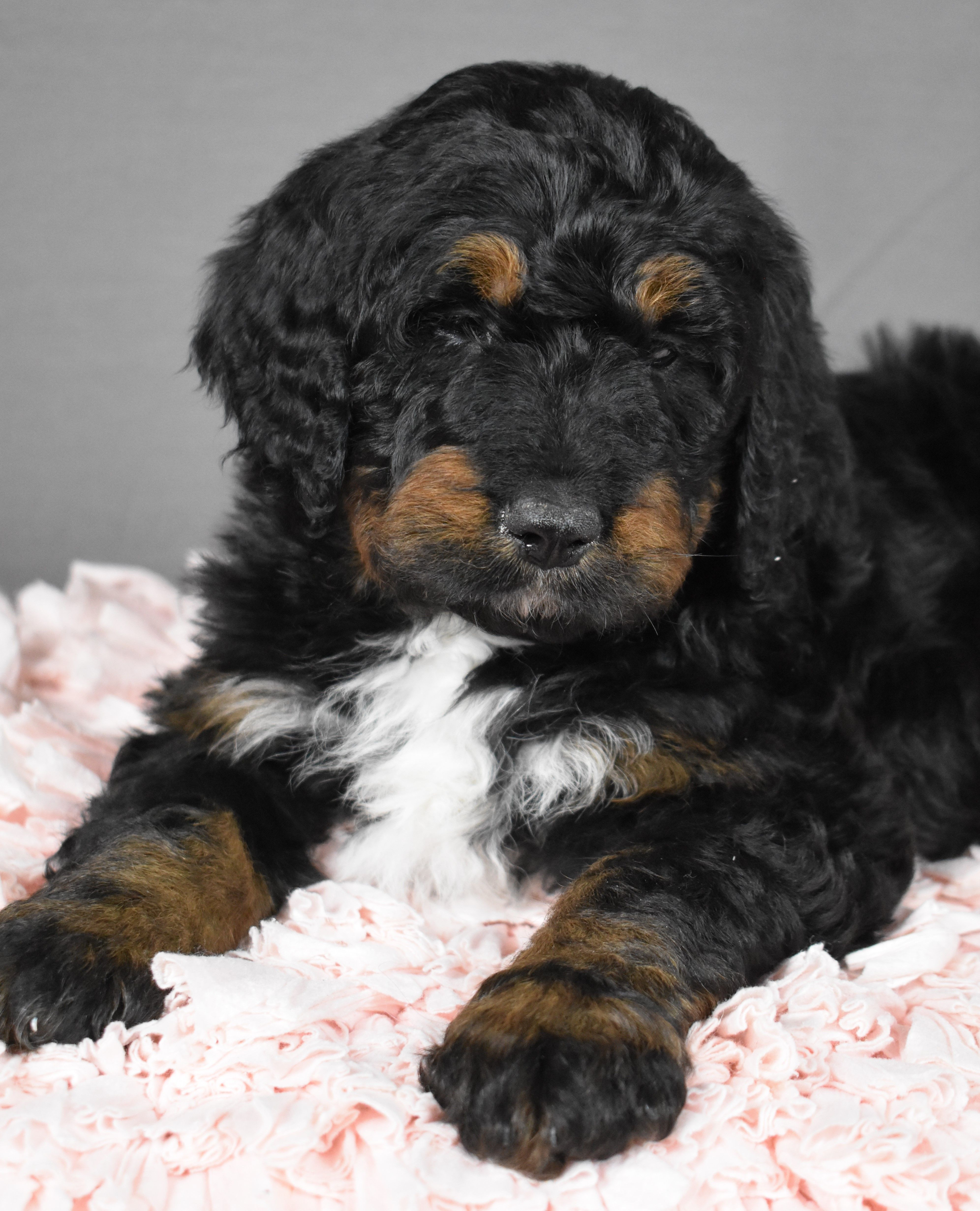 Sweet Bernedoodle Bernedoodle Puppy Dog Breeder Lancaster Puppies