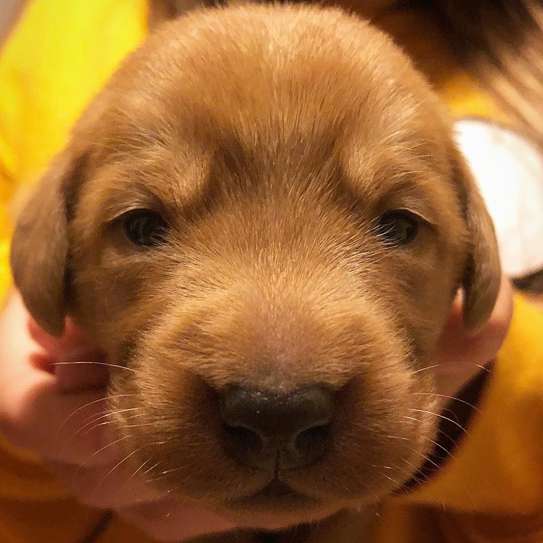 Nice To See You Little Red 2 Weeks Old Today And Eyes Have Begun To Open Dollysdarlings P Labrador Puppy Training Labrador Puppy Labrador Retriever