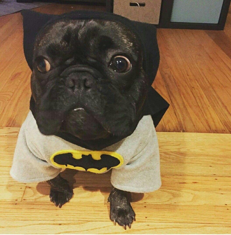 Bat Pig French Bulldog In A Batman Froodie Froodieshoodies