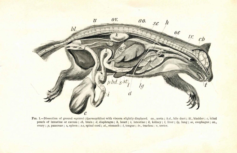 Image result for squirrel scientific anatomy drawings   Studio ...