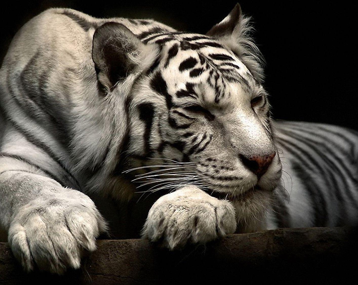 Cool Animal Wallpapers Phone Pet Tiger Animal Wallpaper