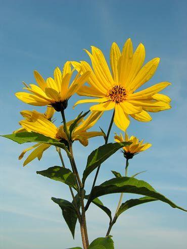 Wysokie Kwiaty Plants Geel