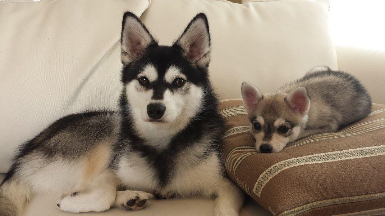My Babies Alaskan Klee Kai Puppy