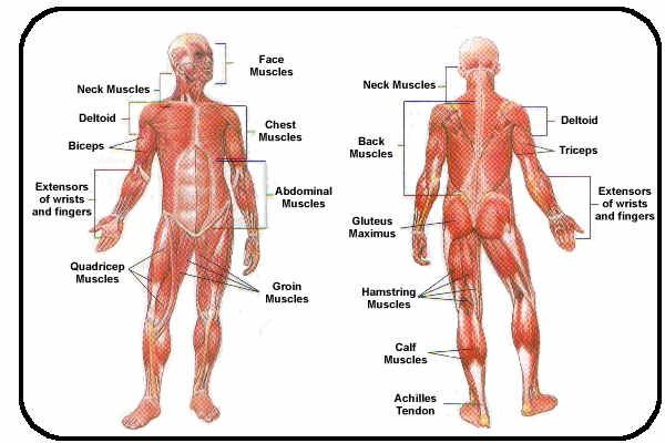 Muscular System Labeled  Anatomy    Muscular System