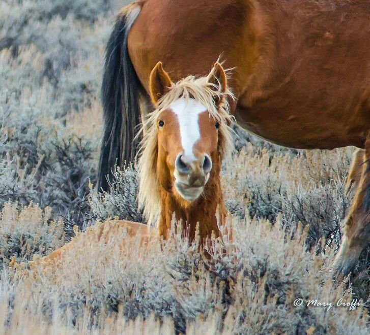 Skip, Pine Nut wild bachelor. Via Pine Nut Wild Horse Advocates FB group.
