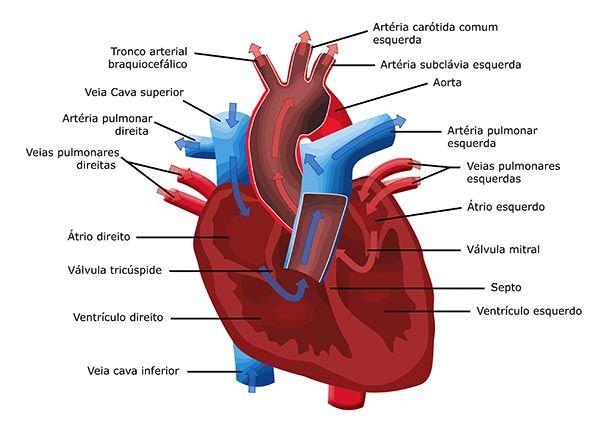 Sistema Cardiovascular   Helo❤   Pinterest   Medicina, Anatomía y ...