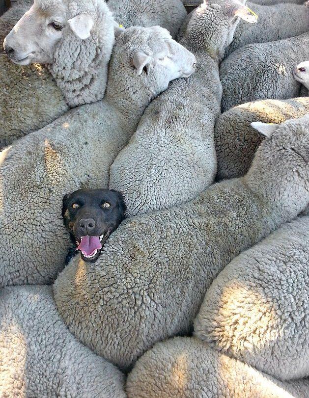 Весёлая собака, застрявшая среди овец, стала героиней ...
