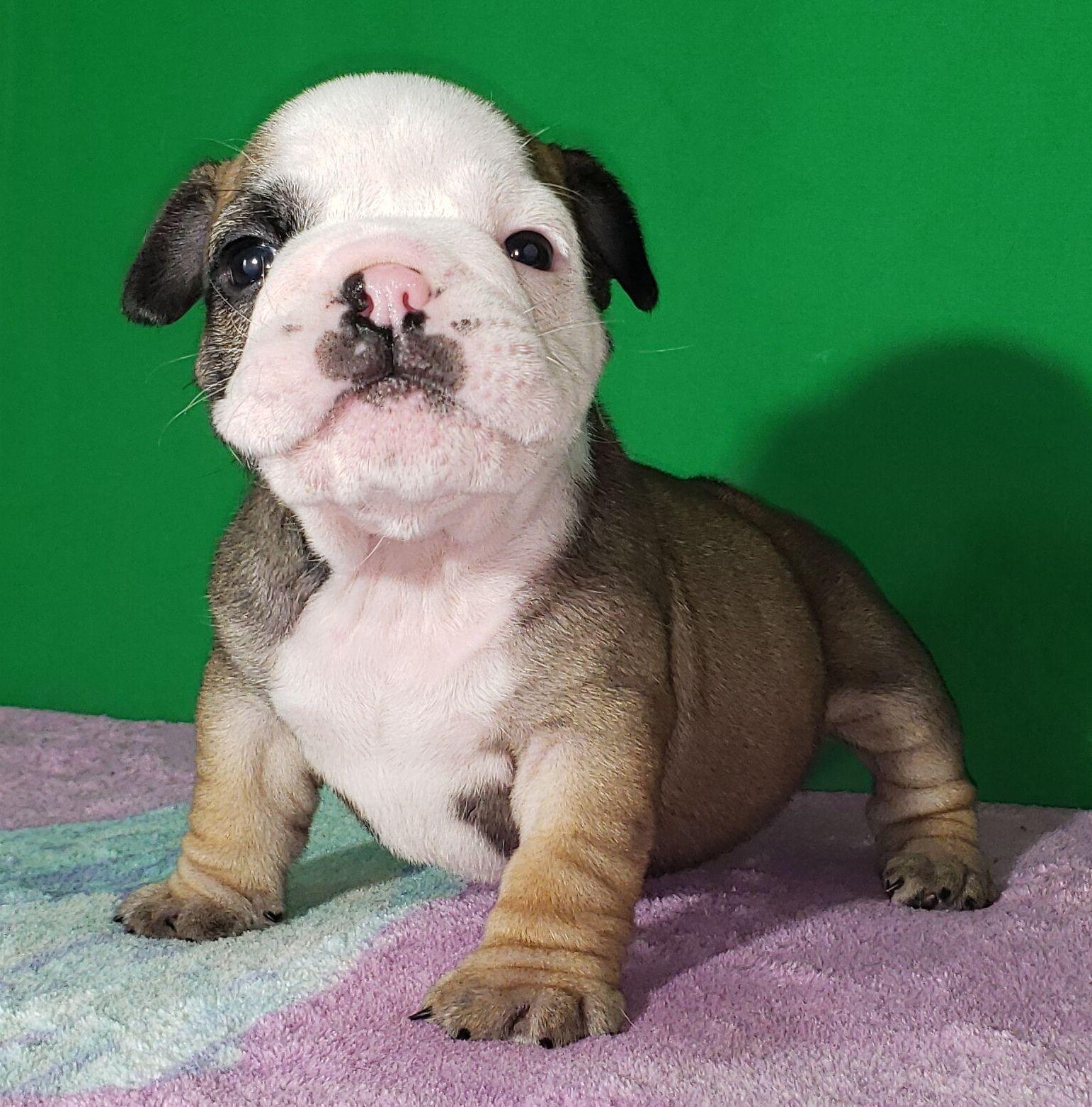 Bubba is a fawn sable English Bulldog puppy, American born