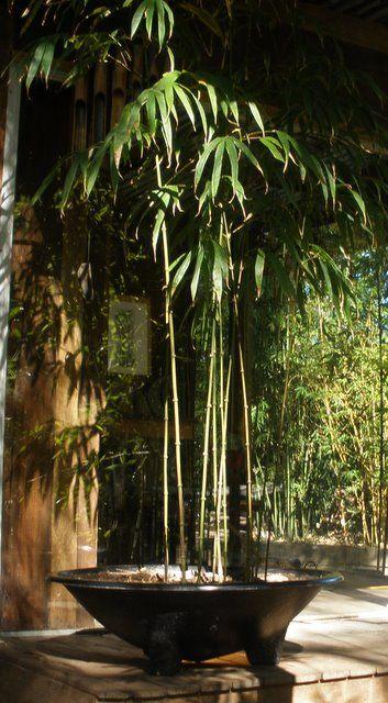 Bamboo In Pots Bamboo In Pots Shallow Pots Tropical Garden
