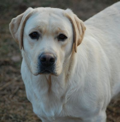 WHITE LAB PUPPIES - Family LOVED Labs - CALL (320) 245-0235