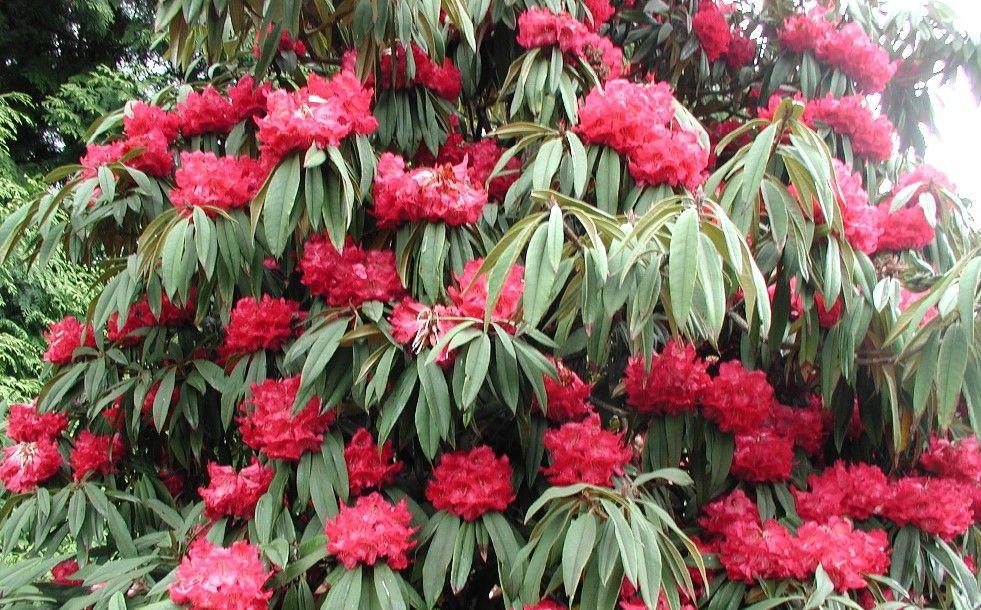 R Arboreum Flowers Red Flowers Evergreen Shrubs