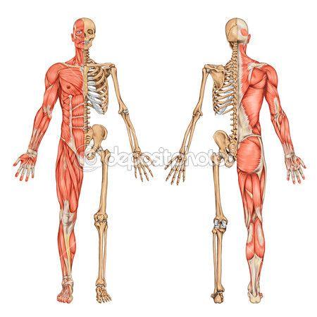 Anatomía humana, huesos y músculos. | Anatomical reference ...