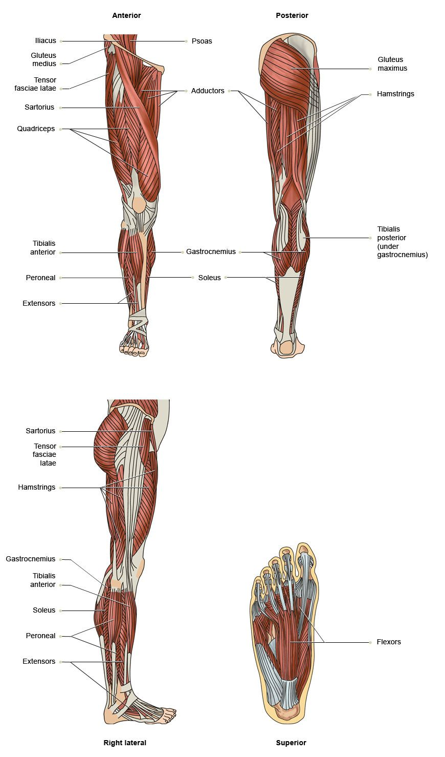 Vtct The Muscles Of The Lower Limbs Anatomy Physiology