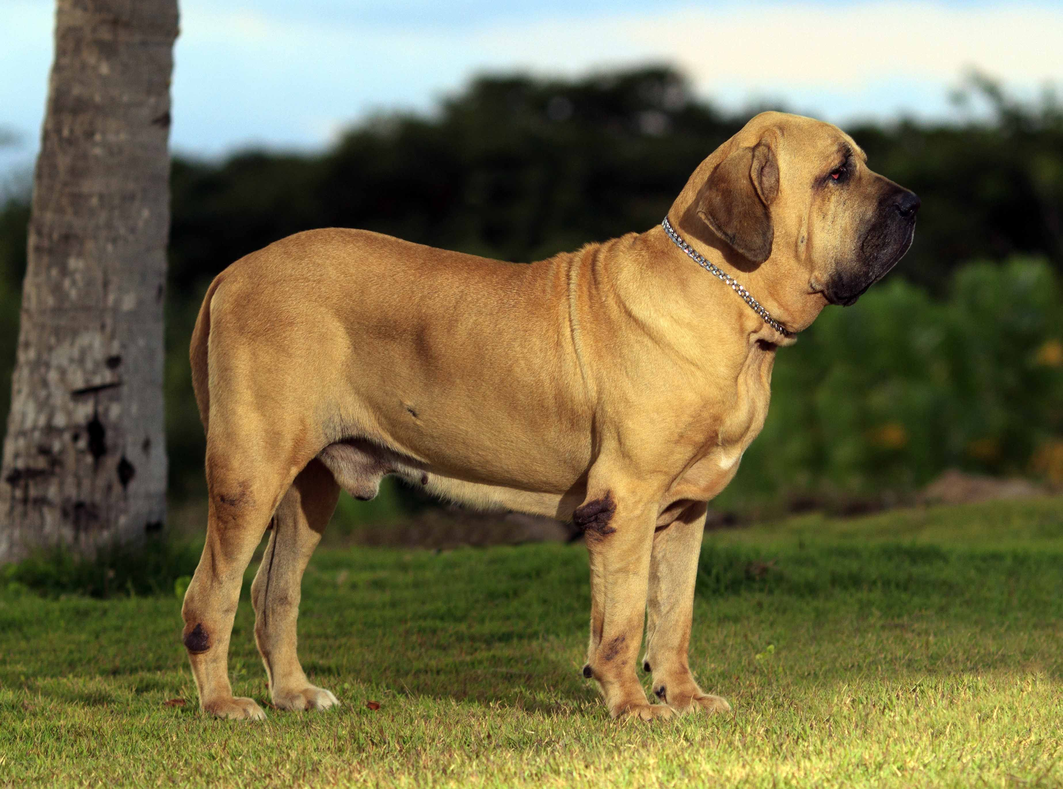 829f45ae4ca5 Fila Brasileiro This stocky geezer is infamous for it s large bones ...