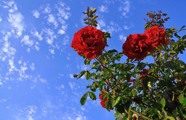 Sky Blue Rose By Richard Leon Flower Aesthetic Aesthetic Desktop Wallpaper Beautiful Flowers