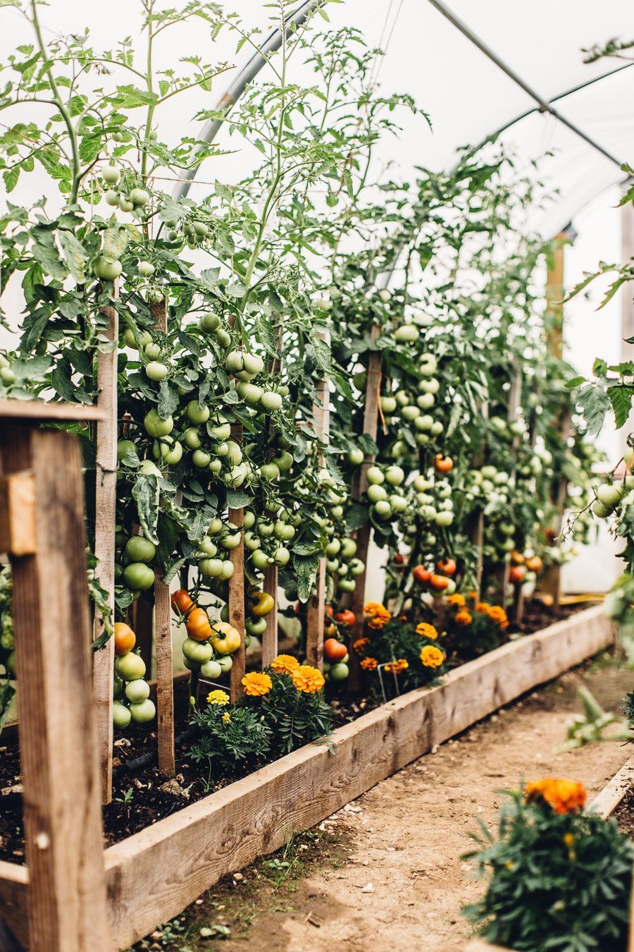 Tomato Growing Love Articlesblog Vegetable Garden 640 x 480