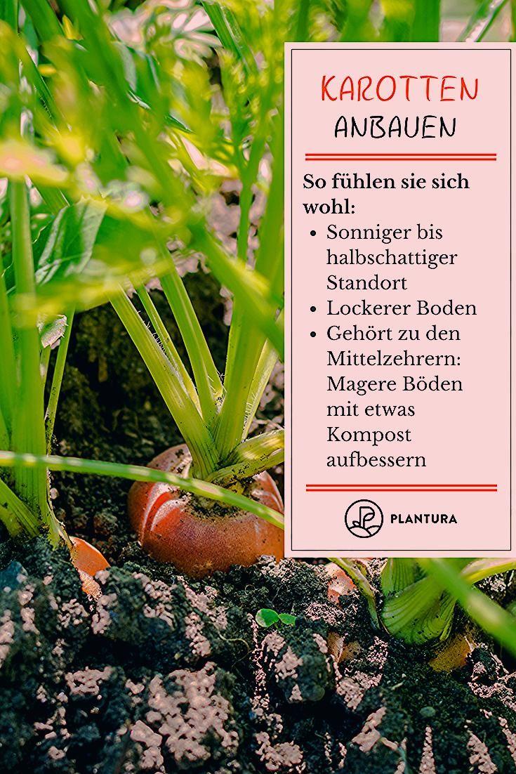 Photo of Karotten pflanzen und anbauen: Experten-Tipps – Plantura