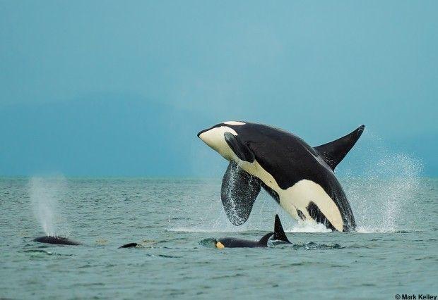 Alaskan Orca Huge Breach From A Male Orca In Southeast Alaska Photo By Mark Kelley Orca Ocean Animals Animals Wild