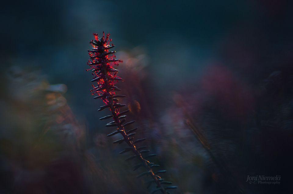 Red Sporangia by Nitrok