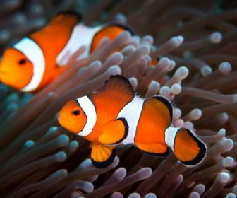 Clown fish adaptations facts with white and red clown fish for Clown fish facts