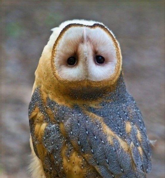 (+16) Совушки   Чучело совы, Картинки с совой, Домашние птицы