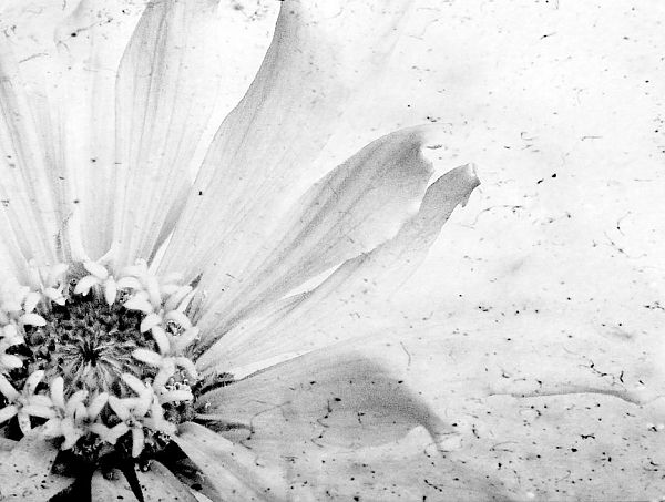 Art photography flower black white zinnia home decor floral print photo ink on