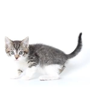 Meet Macho, a Petfinder adoptable Domestic Medium Hair Cat   Show Low, AZ   Pet Allies in Show Low AZMacho and his brother, Tux are healthy, playful kittens looking for their...