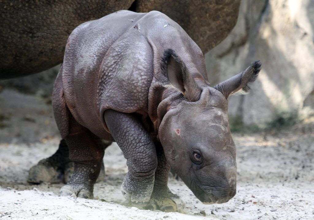 The first greater onehorned rhinoceros born in Texas now