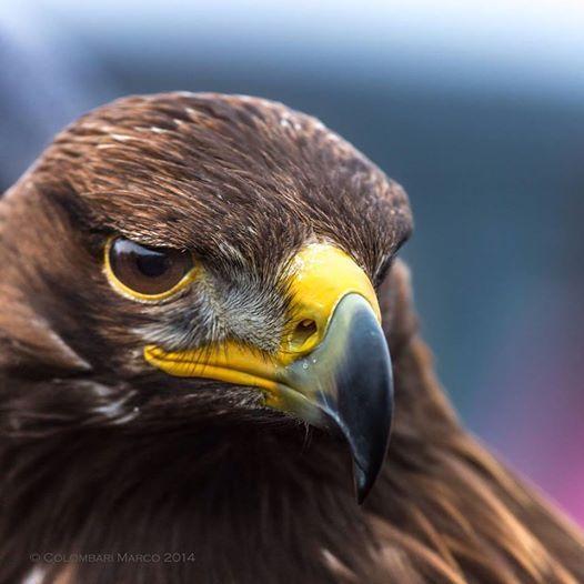 Eagle, picture by Marco Colombari