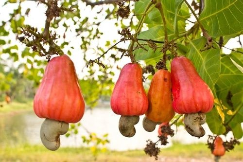 Cashew nuts growing on a tree. The cashew-nut tree is a fast grower and an evergreen tropical tree. It grows to a height of 12m. Blossoming takes place between November and January. Seedling trees flower in the third year after planting. The fruit ripens fully within 2 months. The nut is attached to the lower portion of the cashew apple which is conically shaped. The cashew nut (seed) hangs at the bottom of the apple, and is c-shaped.