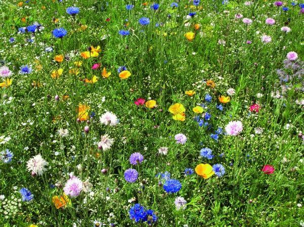 polska ka kwietna google search kwiaty polne pinterest gardens. Black Bedroom Furniture Sets. Home Design Ideas