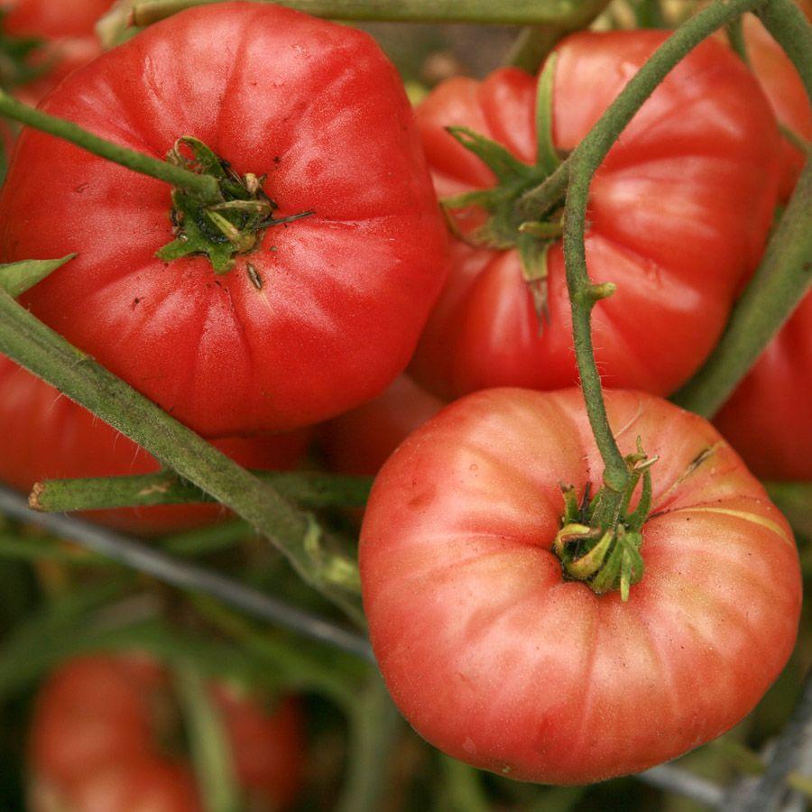 20 Pruden/'s Purple Large Heirloom Tomato Garden Seeds