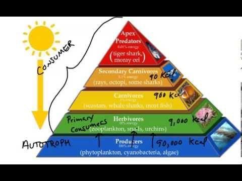 Omnivore Carnivore Food Chain Food Web Energy Pyramid