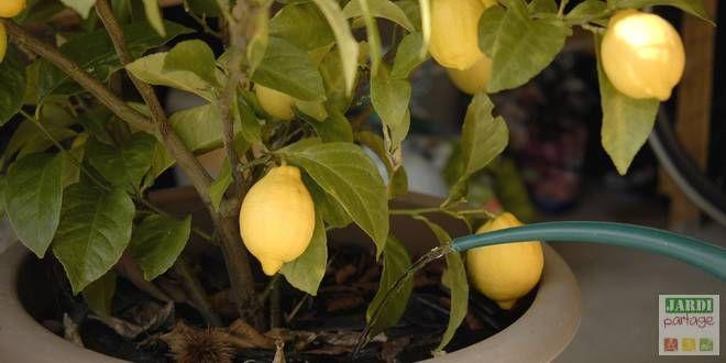 l entretien du citronnier 4 saisons jardinage trees to. Black Bedroom Furniture Sets. Home Design Ideas