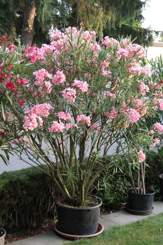 oleander erfolgreich berwintern garten und pflanzen pinterest. Black Bedroom Furniture Sets. Home Design Ideas