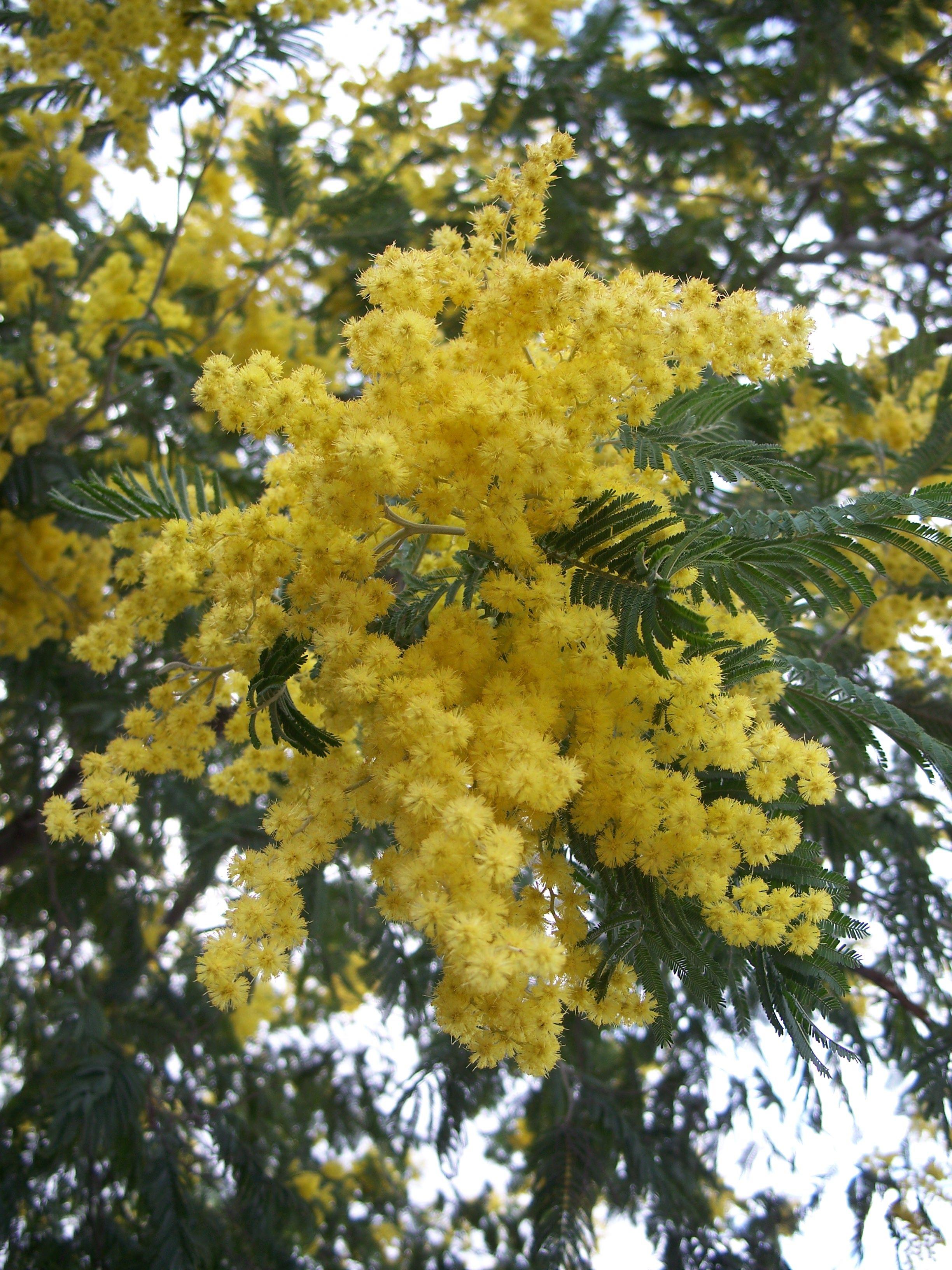 Acacia Dealbata In 2020 Plants Fragrant Garden Australian Plants