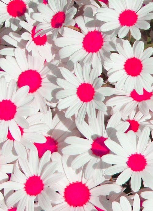 Pin By Carolina Martinez On Color Love Flowers Beautiful Flowers Daisy Love