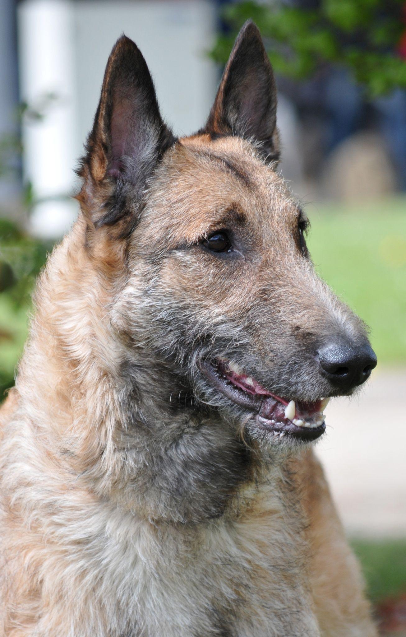 laekenois belgian sheepdog belgian shepherd dog lakenois
