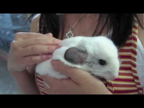 I never tried pinning a video. Let's test these waters. Chinchillas are cute.