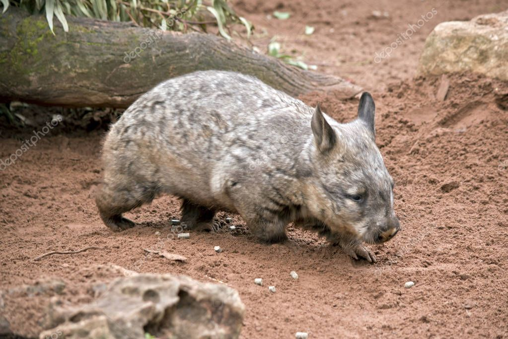 Hairy Nosed Wombat In Sand Stock Photo Affiliate Wombat Nosed Hairy Photo Ad Wombat Stock Photos Sand