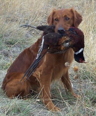 Golden Retriever Bird Dogs Breeds Hunting Dogs Bird Dogs